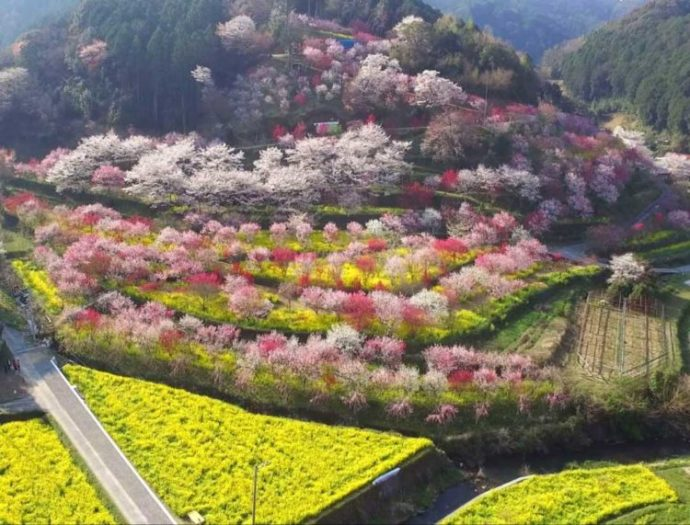 ドローンで撮影した満開の花が咲く「西川花公園」