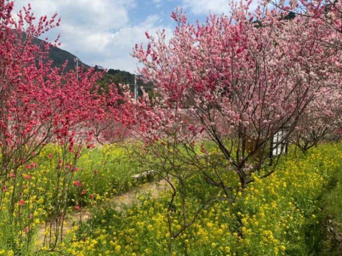 毎年春に咲き乱れる西川花公園のハナモモと菜の花