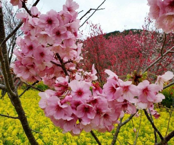 高知県香南市にある「西川花公園」の敷地内で咲く桜と菜の花