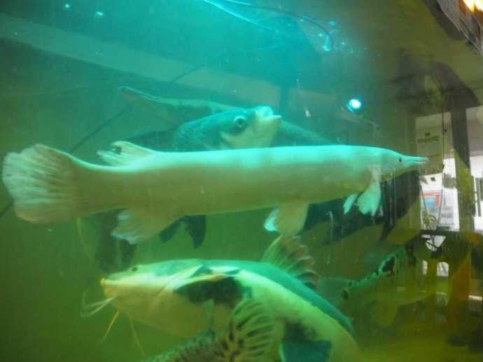 花園教会水族館で悠々と泳ぐプラチナアリゲーターガー