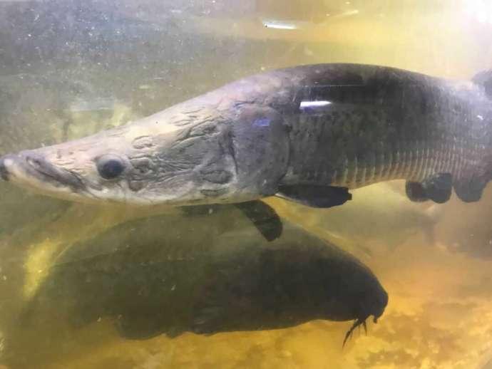 花園教会水族館でみられる「体長1メートルを超えるピラルク」