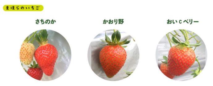 まほらファームで栽培されている3種類のいちご
