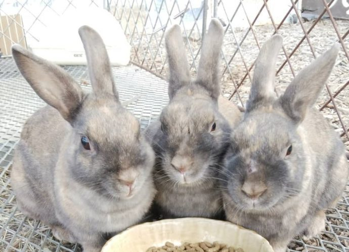 まほらファームにいる可愛いウサギ