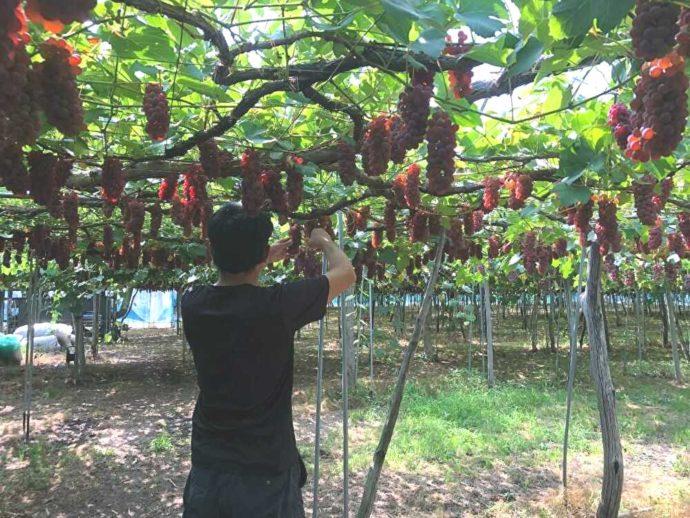 まほろば観光果樹園のデラウェア畑で作業する安達さん