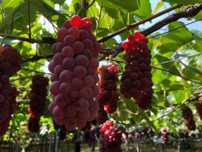 まほろば観光果樹園で収穫できる「デラウェア」