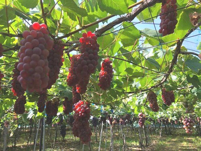 まほろば観光果樹園で収穫できる完熟デラウェア