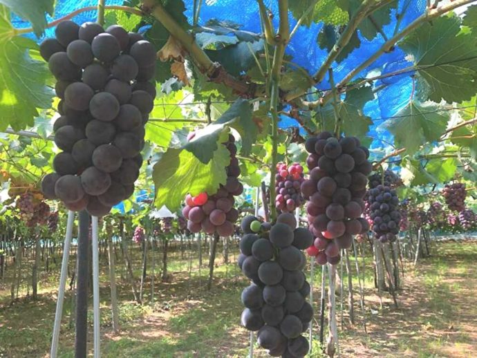 まほろば観光果樹園で収穫できる「高墨」
