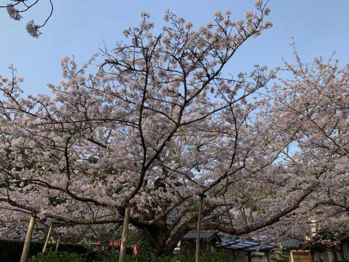 真野寺の樹齢130年のソメイヨシノ