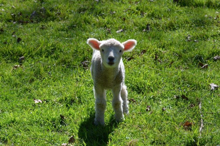MAPPLE Activity Onlineのニュージーランドツアー(オークランド)で出会った子羊