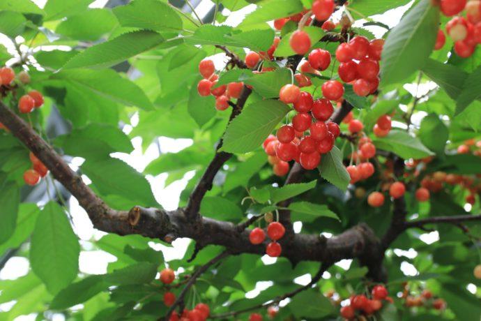 福島の観光農園まるせい果樹園のさくらんぼ