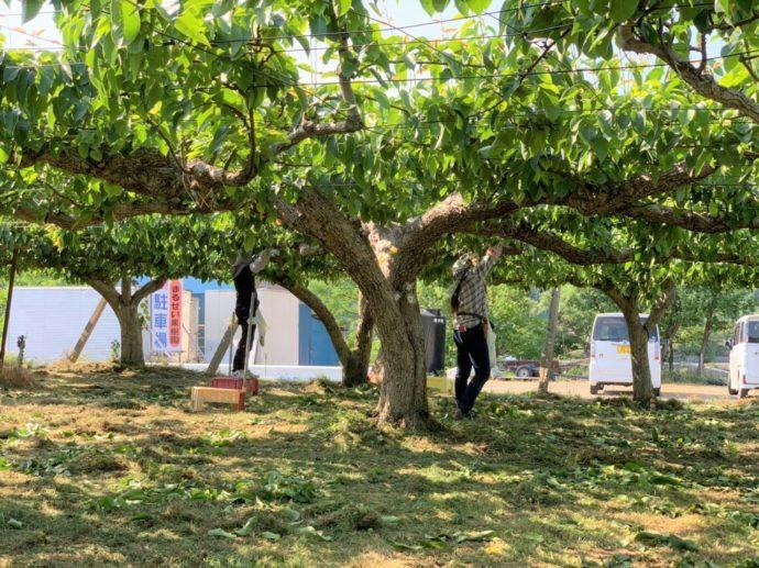 森のガーデンまるせい果樹園で果物を収穫する人の様子