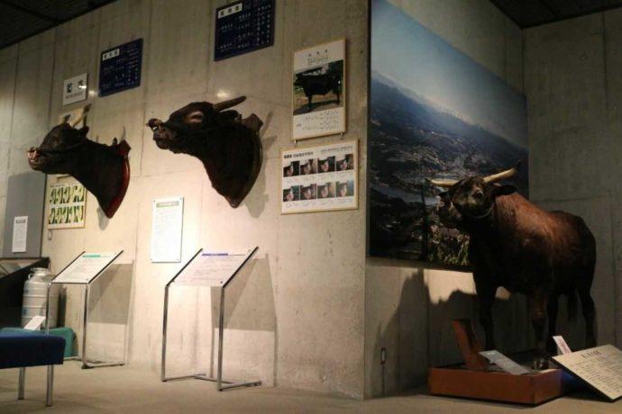 牛の博物館で見られる種雄牛の剥製