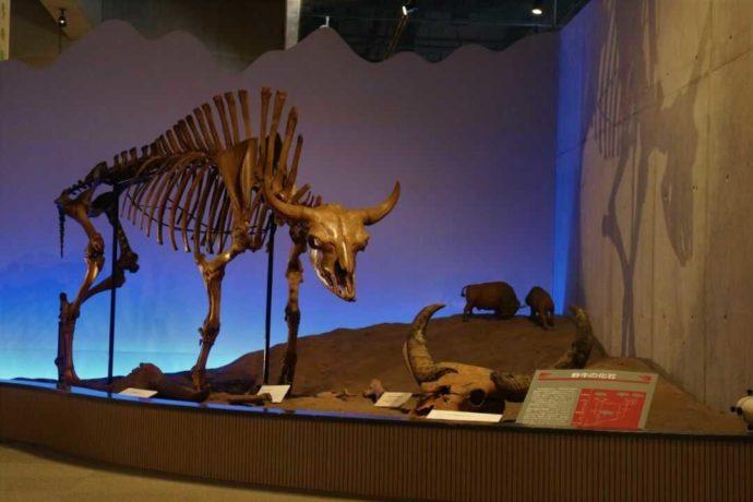 牛の博物館の展示「牛の生物学」の野牛化石」