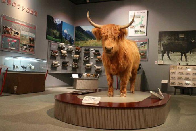 牛の博物館「牛の生物学」のハイランド種剥製