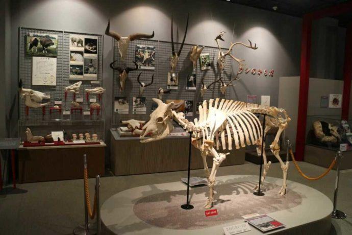 牛の博物館の全身骨格