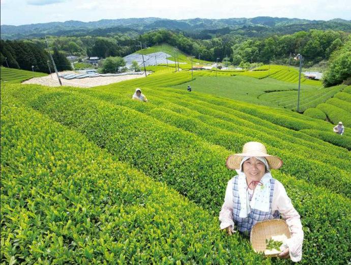 茶畑が美しい京都府南山城村の風景