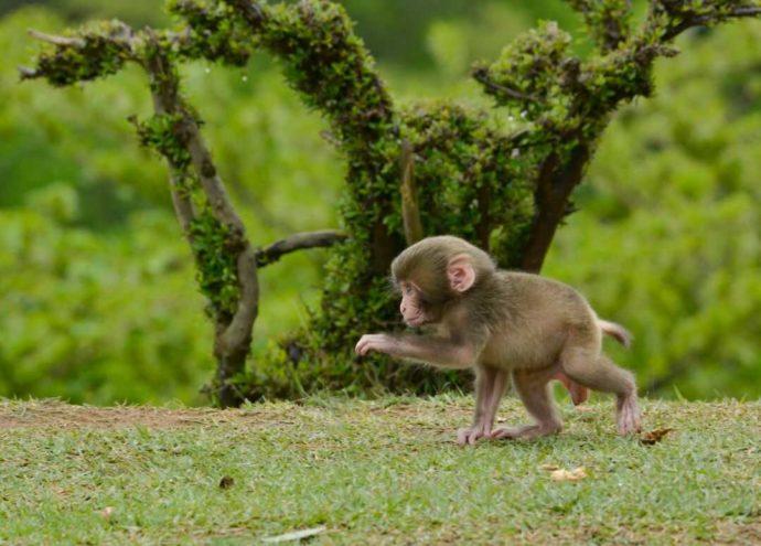 嵐山モンキーパークいわたやまで見られるサルの赤ちゃん
