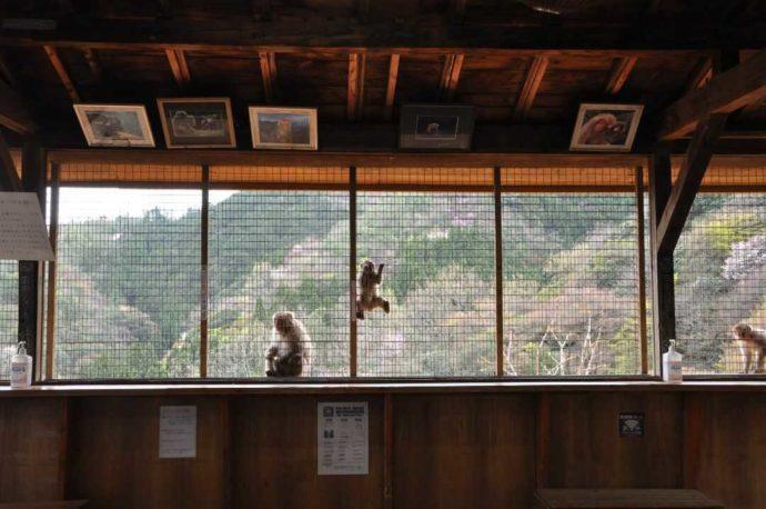嵐山モンキーパークいわたやまの休憩所からも野生のサルが見られる
