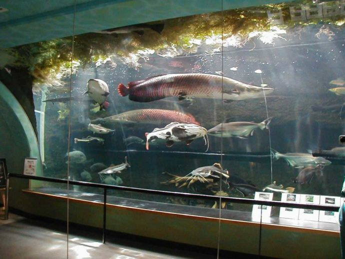 愛媛県松野町の水族館「虹の森公園 おさかな館」にある大水槽とピラルクー