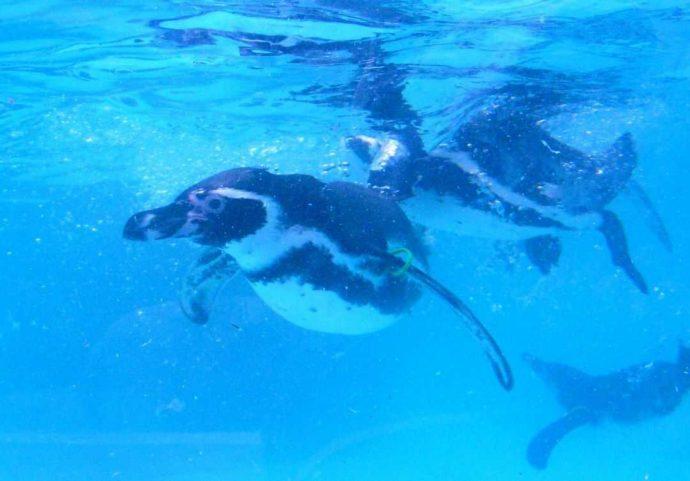 「虹の森公園 おさかな館」でプールを泳ぐペンギン