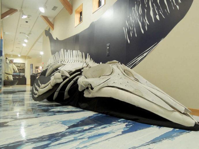 モヨロ貝塚館にあるミンククジラ骨格標本