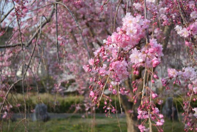 奈良文化財研究所飛鳥資料館の庭園にあるサクラ