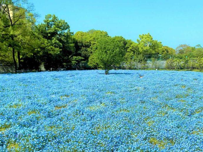 大阪市立長居植物園の「ライフガーデン」に咲く春のネモフィラ