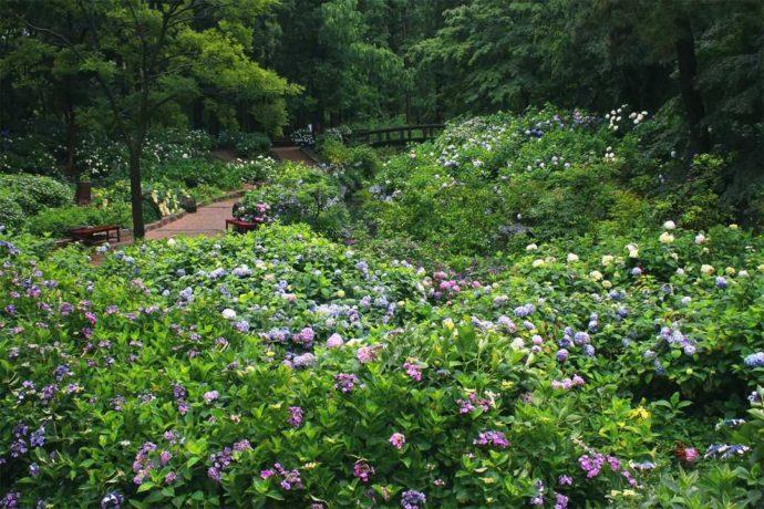 大阪市立長居植物園のアジサイ園