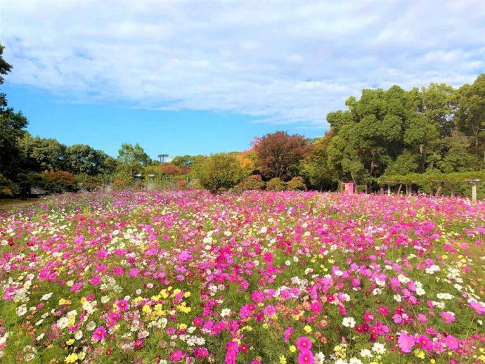 大阪市立長居植物園のコスモス園