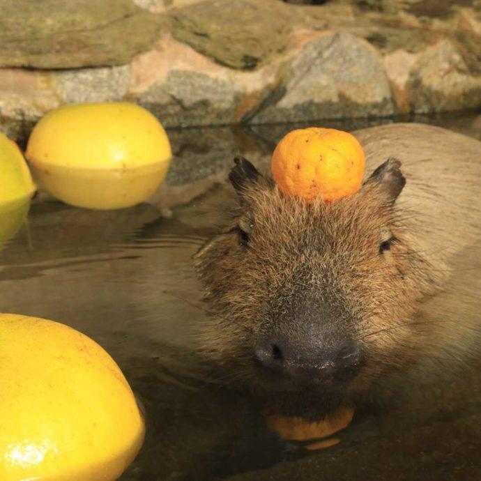 長崎県西海市にある「長崎バイオパーク」で冬季に見られるカピバラの露天風呂