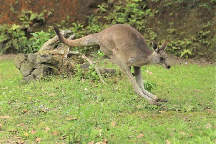 長崎県西海市にある「長崎バイオパーク」で遊ぶオオカンガルー