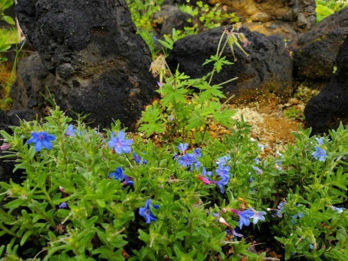 ピクニックガーデンに咲く小さな青い花
