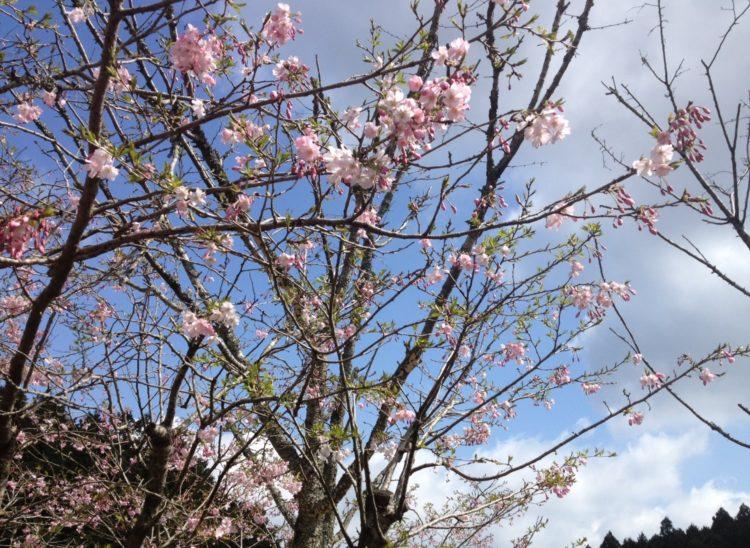 福岡県飯塚市にある「ピクニカ共和国」で見られる桜