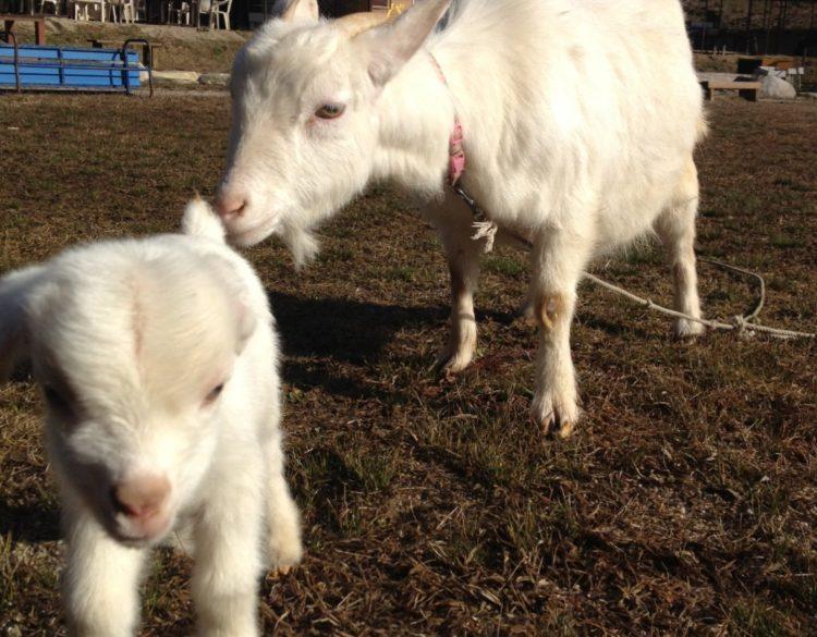 福岡県飯塚市にある「ピクニカ共和国」にいる子ヤギのカンタくんとエルサちゃん