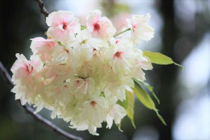 上地八幡宮の鬱金桜に少し紅みがさしてきた様子