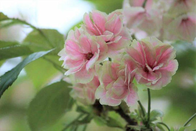 上地八幡宮の鬱金桜の咲き終わり