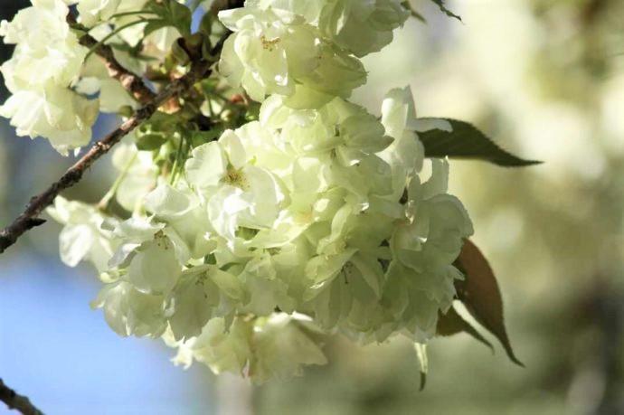 上地八幡宮で見られる鬱金桜の咲きはじめ