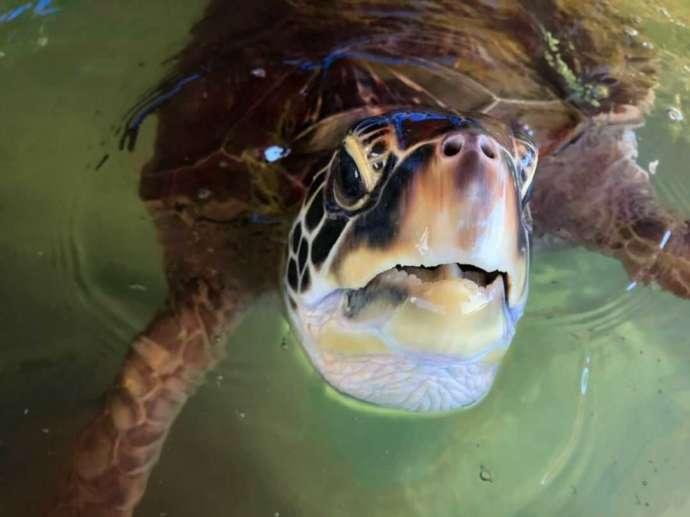 熊本県上天草市にあるわくわく海中水族館シードーナツのウミガメ・カメ子