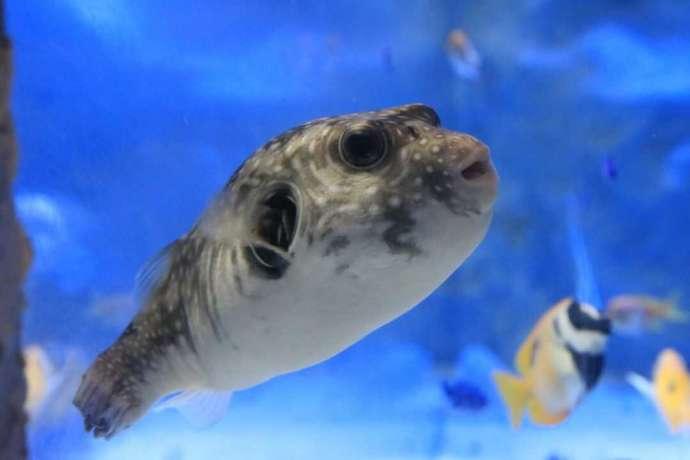 熊本県上天草市にあるわくわく海中水族館シードーナツのサザナミフグ