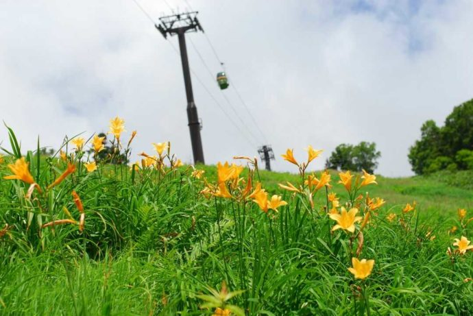 東館山高山植物園のニッコウキスゲの群生