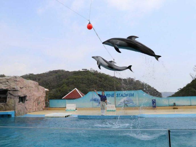 下田海中水族館のイルカショーでいきいきとジャンプするイルカたち