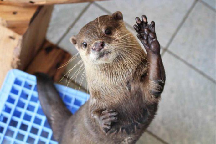 下田海中水族館にいるコツメカワウソのマメタ