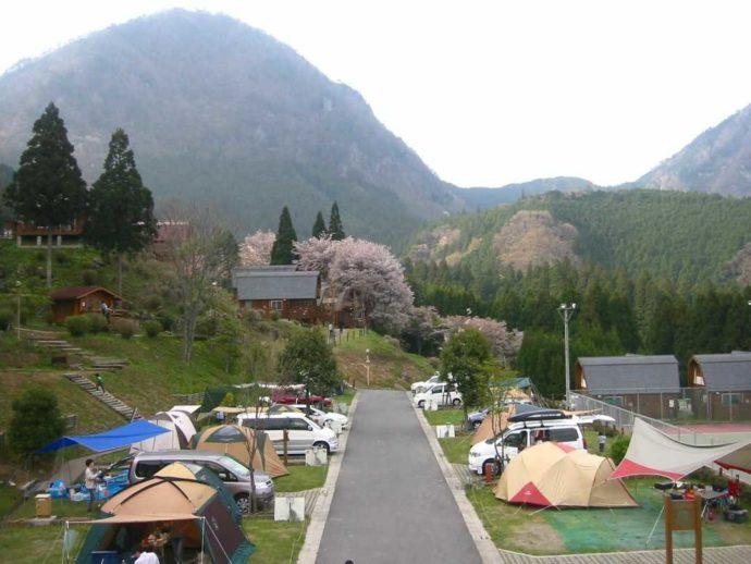 サンビレッジ曽爾奥香落オートキャンプ場の春の桜とオートサイト