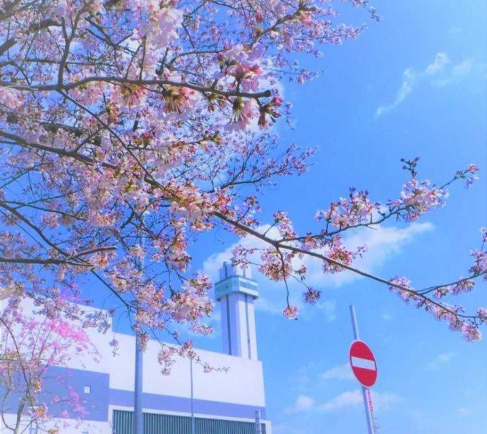 さすてな京都の敷地内に咲いている桜と建物外観