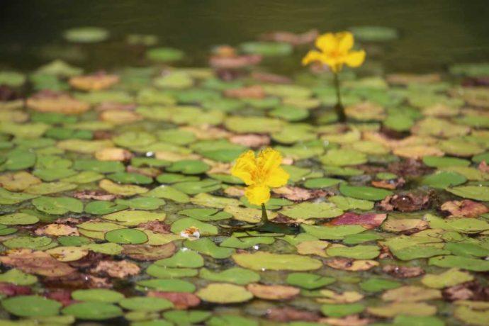 さすてな京都の敷地内で楽しめる京都府の「絶滅危惧種」に指定されている水生植物「アサザ」