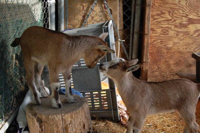 長野県須坂市にある「須坂市動物園」の代表動物選挙に参加したトカラヤギ