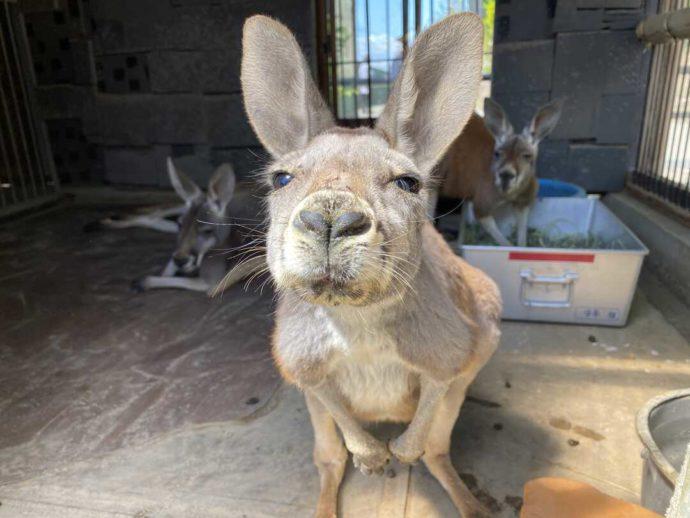 長野県須坂市にある「須坂市動物園」のアカカンガルー