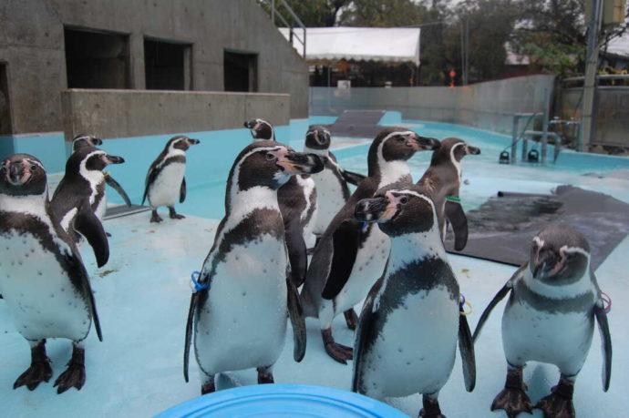 長野県須坂市にある「須坂市動物園」のフンボルトペンギン