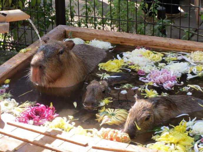 長野県須坂市にある「須坂市動物園」のカピバラ