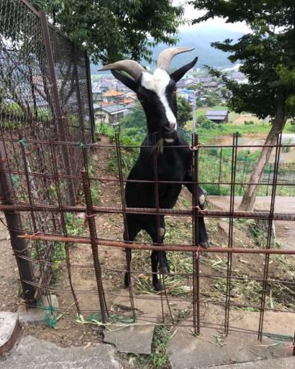栃木県佐野市にある「賀茂別雷神社」で飼っているヤギ